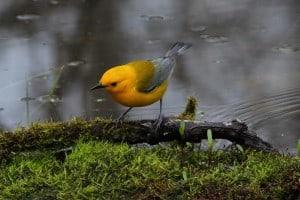 Prothonotary Warbler - Greg Piasetzki