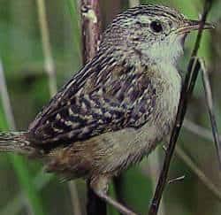 Sedge Wren - Wikimedia