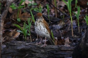 Wood Thrush - Greg Piasetzki