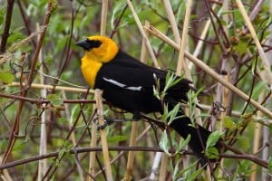 Yellow-headed Blackbird - Greg Piasetzki