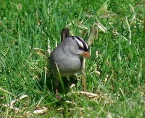 White-crowned Sparrow - Susan Chow