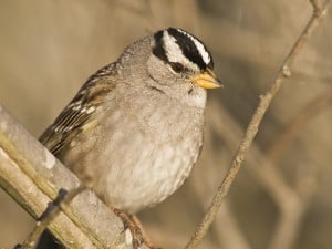 White-crowned Sparrow - Wikimedia
