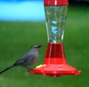 Catbird at feeder - Colum Diamond