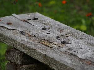 Chalk-fronted Skimmers basking on bench - June 23 2014  - Big Gull L. -Alec Derghazarian