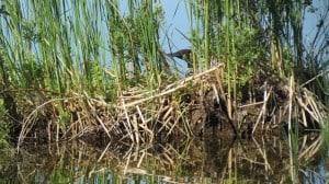 Female loon on nest between Lock 23-24  June 21 Sandy Lockwood