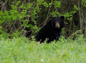 Black Bear - Randy Therrien