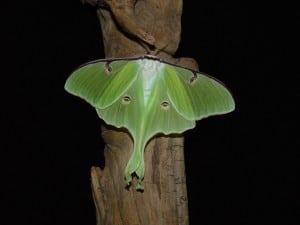 Luna moth - Tim Dyson