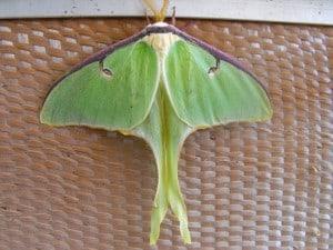Luna moth - Sheelagh Hysenaj
