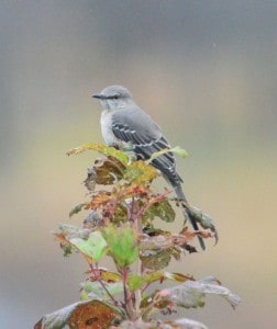 Northern Mockingbird - Gord  Mallory