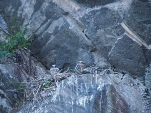 Peregrines in North Kawartha Township nest - July 19, 2014 - Drew Monkman