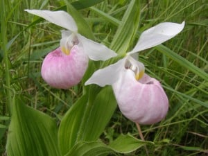 Showy Lady's-slipper - Drew Monkman