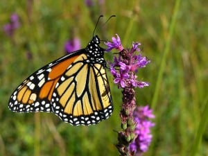 Monarch Butterfly - Terry Carpenter