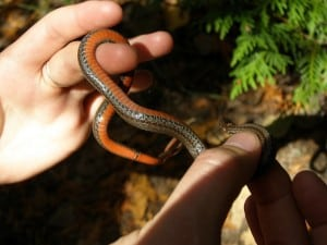 Red-bellied Snake