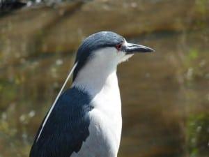 Black-crowned Night-Heron - Drew Monkman