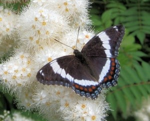 White Admiral - Margot Hughes