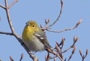 Yellow-throated Vireo - Karin Laine