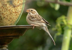 Clay-colored Sparrow - WM