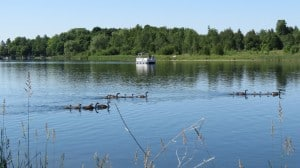 gaggles of geese -  Lock 23 & 24 - June 21- Sandy Lockwood