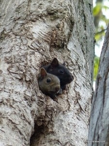 Eastern Gray Squirrel - juveniles - Don McLeod
