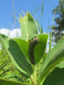 Monarch caterpillar on Common Milkweed - Jane Zednik