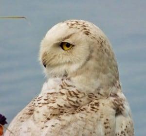 snowy owl 2 - nancy cafik - june 23 2014 - chemong lake