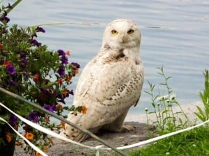 snowy owl - nancy cafik -   june 23 2014 - chemong lake