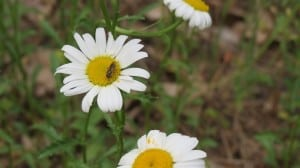 unidentified bee on daisy  Stony Lake  June 2014 -Sandy Lockwood