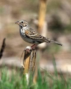 Vesper Sparrow - WM