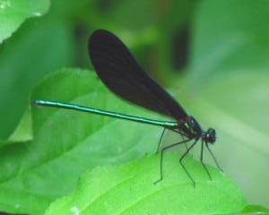 Ebony Jewelwing - male - by D. Gordon Robertson