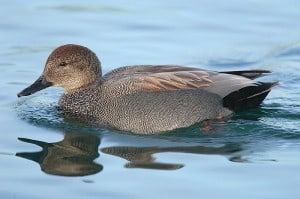Male Gadwall (photo from Wikimedia)