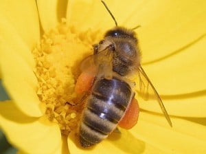 Honey Bee - Wikimedia