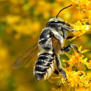 Leafcutter bee on goldenrod -  Bob Peterson