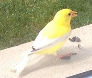 Leucistic American Goldfinch - Tracey Murfin - Assumption - July 2014