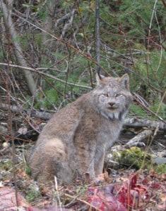 Lynx (Rick Stankiewicz)