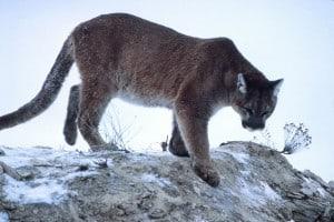 Cougar - K. Fink