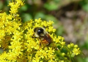 Tri-colored Bumble Bee on goldenrod - Drew  Monkman