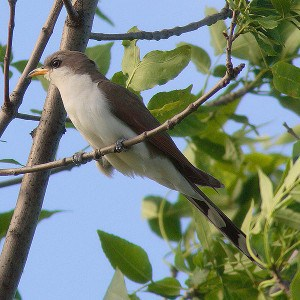 Yellow-billed Cuckoo - Wikimedia