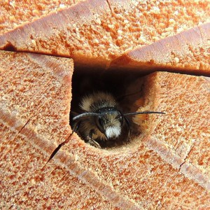 furry-faced mason bee exiting a nesting hole - photo by Orangeaurochs