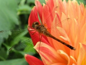 Immature meadowhawk dragonfly - Margo Hughes
