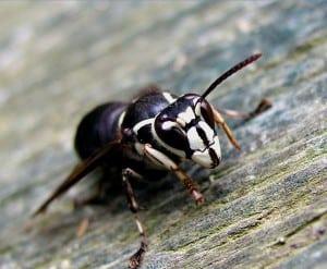 Bald-faced Hornet - Wikimedia