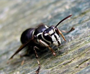 Bald-faced Hornet - Wikimedia