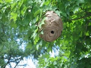 Bald-faced Hornet nest  Edmison Dr. - Ian MacDougall