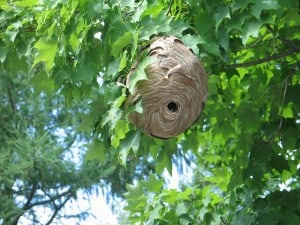 Bald-faced Hornet nest (Ian MacDougall)