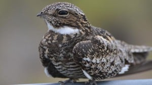 Common Nighthawk - Wikimedia