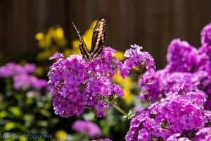 Giant Swallowtail on phlox - August 18, 2014 - Drew Monkman