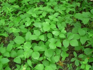 Poison Ivy - Drew Monkman