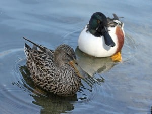 Northern Shoveler pair  - Dick Daniels