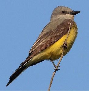 Western Kingbird - Wikimedia