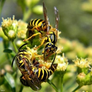 Yellowjackets drinking nectar on a flower (Bob Peterson photo)