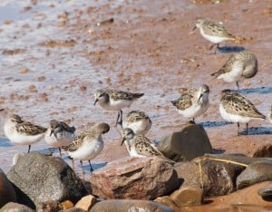 Semipalmated Sandpipers - Drew Monkman